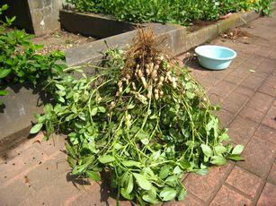 落花生の育て方 収穫